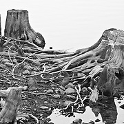 Old Stumps revealed on Susie Lake in Desolation Wilderness, CA.