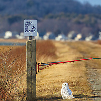 Snowy Owl at Parker River National Wildlife Refuge on Plum Island, Massachusetts. Parker River National Wildlife Refuge is a pristine snowy owl birding location in Massachusetts and New England. This arctic bird travels down south in search for better feeding grounds during the winter and delights young and old bird fans.<br /> <br /> Snowy owl photography images are available as museum quality photo, canvas, acrylic, wood or metal prints. Wall art prints may be framed and matted to the individual liking and interior design decoration needs:<br /> <br /> https://juergen-roth.pixels.com/featured/snowy-owl-at-parker-river-national-wildlife-refuge-juergen-roth.html<br /> <br /> Good light and happy photo making!<br /> <br /> My best,<br /> <br /> Juergen