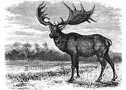 Reconstruction of the Irish Elk (Megaloceros), extinct genus found as fossils in Asia and Europe, similar in size to modern Moose. Largest specimens from Denmark and Ireland had antlers 4 metres across. Pleistocene epoch (2,500,000 to 10,000 years ago).   Wood engraving c1880.