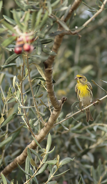 European Serin, or just Serin (Serinus serinus) is the smallest European species of the family of finches (Fringillidae) and is closely related to the Canary. Its diet consists mainly of a combination of buds and seeds.Photographed in Israel in December