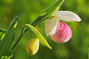 Showy Lady's Slipper (Cypripedium reginae) <br />Richer<br />Manitoba<br />Canada
