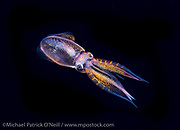 A colorful Diamond Squid, Thysanoteuthis rhombus, swims in the Gulf Stream Current offshore Palm Beach, Florida, at nighttime.