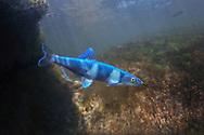 Spotfin Chub<br /> <br /> Isaac Szabo/Engbretson Underwater Photography