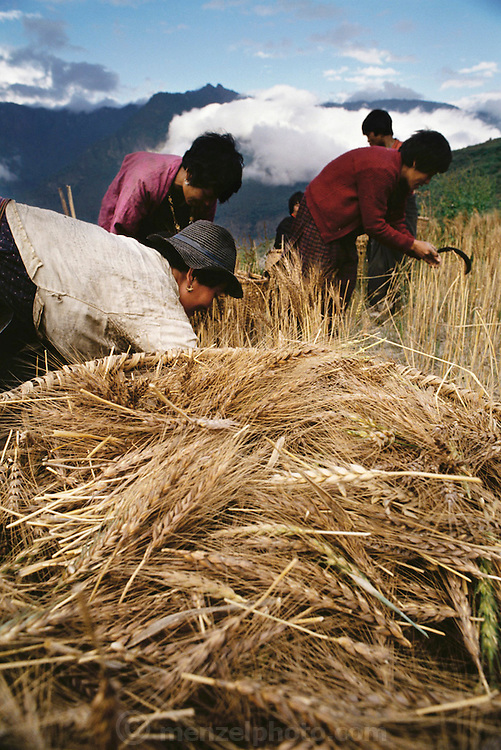 Women harvest wheat in terraced strips through the hillsides near their home in the village of Shingkhey, Bhutan. Each strip is devoted to a different crop, and dependent on the season: wheat, rice, chilies, or potatoes. The wheat harvest, now in full swing, is assigned to the women. They take two long, dowel-like sticks, pinch a fistful of wheat heads between them, and then pull up, snapping off the heads. For long-term storage, they cut the whole stalk, bind it into sheaves, and store the result in the attic, from where it is threshed little by little, as the family needs it. The family of subsistence farmers lives in a 3-story rammed-earth house in the hillside village of Shingkhey, Bhutan. From Peter Menzel's Material World Project that showed 30 statistically average families in 30 countries with all their possessions.