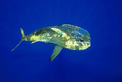 mahi mahi, dolphin fish, or dorado, Coryphaena hippurus, bull, off Kona Coast, Big Island, Hawaii, Pacific Ocean.
