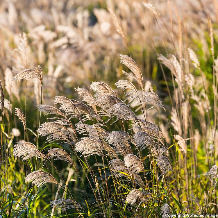 Reeds, Linton Hill, Dorset.