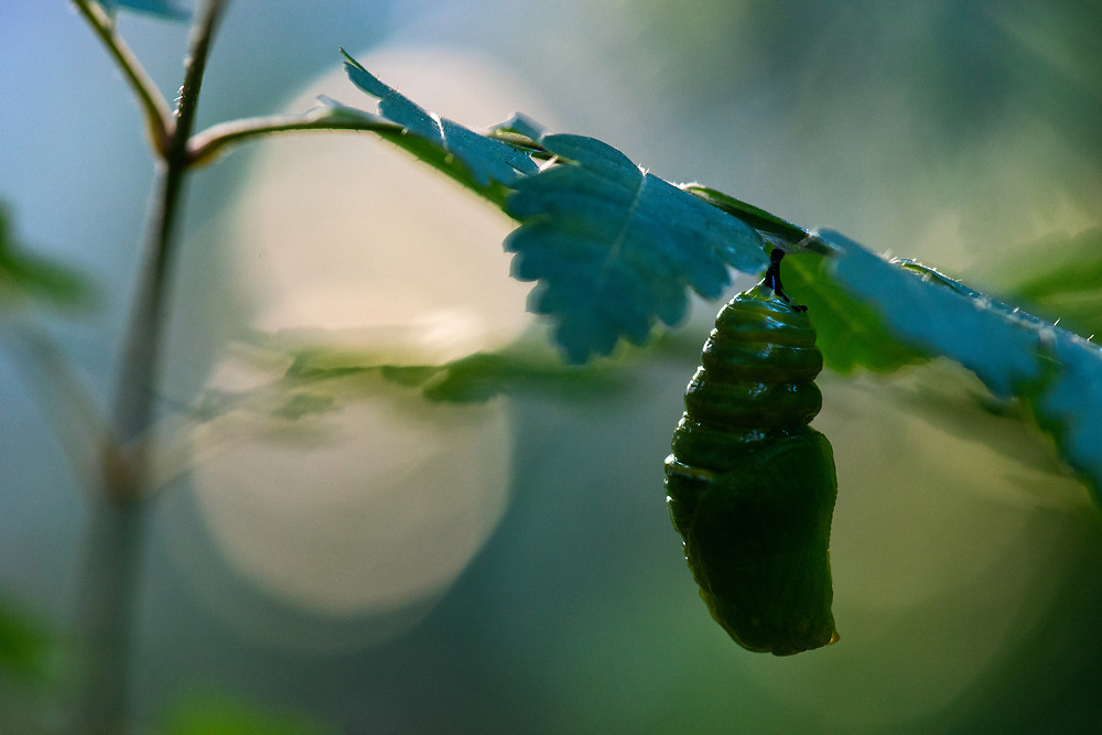 Early stage chrysalis