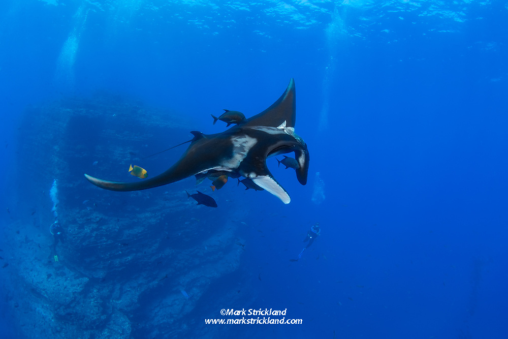 Divers observe a Giant Manta, Manta birostris, being cleaned by Clarion Angelfish, Holacanthus clarionensis. The Boiler, San Benedicto Island, Revillagigedos, Mexico, Pacific Ocean