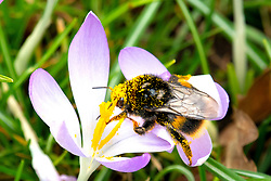 © Licensed to London News Pictures. 24/02/2021. Market Bosworth, UK. Crocus Pollen. The green areas around Market Bosworth are covered in crocus which have awakened the bees eager to hunt for pollen. The brightly coloured pollen sticking and covering the bees as they shelter from the wind. Photo credit: Dave Warren / LNP