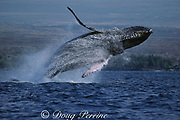 humpback whale, Megaptera novaeangliae, breaching, Puako, Hawaii Island, #2 in sequence of 6; caption must include notice that photo was taken under NMFS research permit #587
