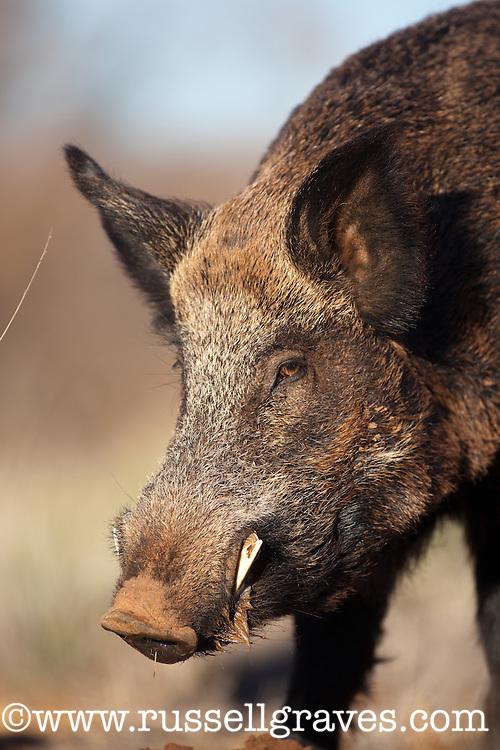 FERAL HOG BOAR WILDL PIG