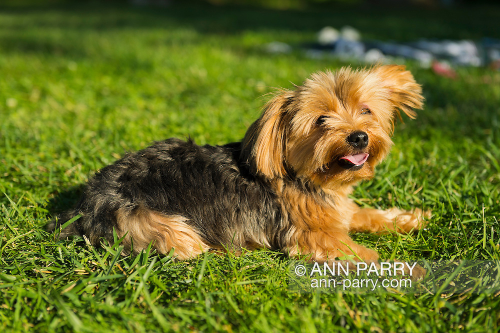 Sands Point, New York, U.S. - July 5, 2014 - Juliette, a 3.5 lbs. teacup Yorkie from Queens, has come with her family during Independence Day weekend to visit Sands Point Preserve on the Long Island Sound of North Shore Gold Coast area. The public park had many visitors this Saturday of Independence Day Weekend when sunny warm weather arrived after the rainy July 4th.