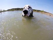 """English Setter """"Rudy"""" schwimmt am 21.04. 2018 im Teich von Stara Lysa, (Tschechische Republik).  Rudy wurde Anfang Januar 2017 geboren und ist vor einiger Zeit zu seiner neuen Familie umgezogen."""