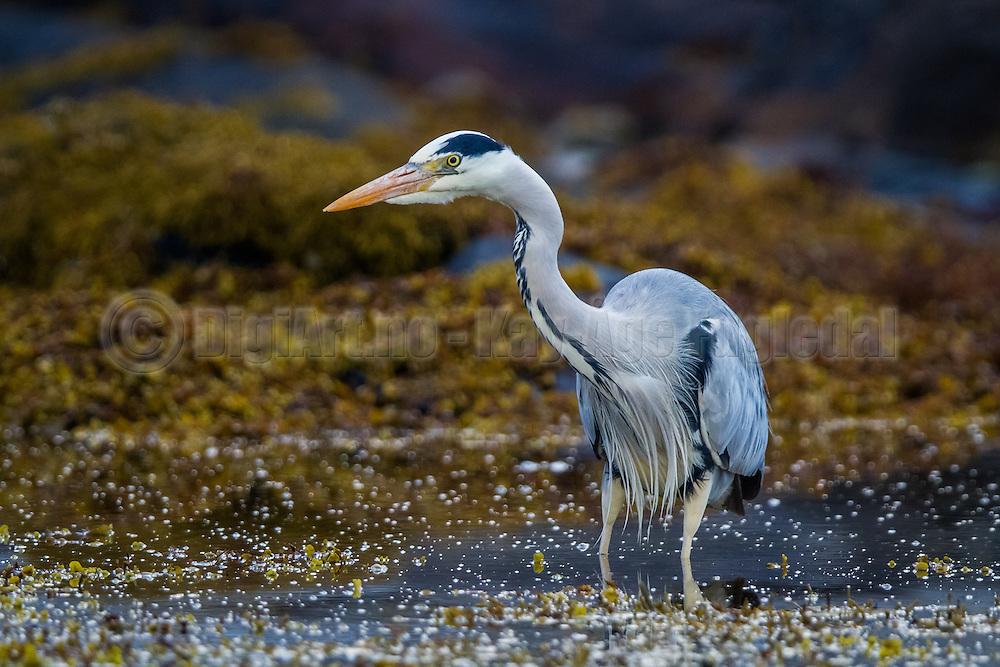 Grey Heron searching for food | Gråhegre leter etter mat