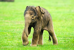 © Licensed to London News Pictures. 18/09/2014 London, UK. A two day old baby elephant runs around the paddock at Whipsnade Zoo, Beds. The male calf  was born on September 16th to fourth time mum 30 year old Azizah and weighs in at 133kg. The as yet unnamed male was unusually born outside amongst the ten strong Whipsnade herd.  Photo credit : Simon Jacobs/LNP