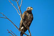 Bald Eagle;Juvenile. Montana.