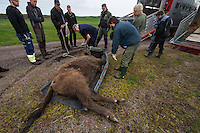 Transportation of European Bison, or Wisent, from the Avesta Visentpark, in Avesta, Sweden. The animals were then transported to the Armenis area in the Southern Carpathians, Romania. All arranged by Rewilding Europe and WWF Romania, with financial support from The Dutch Postcode Lottery, the  Swedish Postcode Foundation and the Liberty Wildlife Fund.