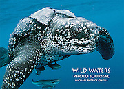 From the Introduction: <br /> <br /> Wild Waters is a pictorial and written journal illustrating a handful of vibrant and <br /> diverse aquatic ecosystems—Indonesia's Komodo National Park, Lembeh Strait <br /> and Bali; Brazil's Bonito region; Mexico's Guadalupe Island; and my home for the <br /> last twenty years, South Florida.<br /> <br /> On a global scale, these locations cover insignificant, minute territory, but they are<br /> unique and contribute exponentially to our planet's richness. These hotspots of<br /> biological wealth deserve our immediate attention and care. At the very least, people<br /> should be aware of them to understand what's at stake when our actions threaten<br /> sensitive areas.<br /> <br /> When I began this project two years ago, I purposely chose these places because <br /> they are where I like to photograph—the more remote and unknown, the better. Well, <br /> how about Bali and Florida? Believe me, they can still be rediscovered and <br /> photographed from an entirely new perspective. Fortunately, there's a lot of <br /> wild left in both, especially below the waterline.<br /> <br /> I consider this is my best work so far. Wild Waters showcases celebratory images <br /> as well as those depicting our heavy and messy footprints on the natural world. <br /> These photos are more relevant than ever because they can inspire us to makes <br /> things better. As you follow my bubbles in Wild Waters, I hope you enjoy my images <br /> as much as I enjoyed making them.<br /> <br /> Michael Patrick O'Neill<br /> <br /> ISBN 978-0-9728653-6-4<br /> 8.5 x 11 inches (landscape)<br /> Hardcover with dust jacket; 116 pages<br /> $29.95; Ages 12 and up