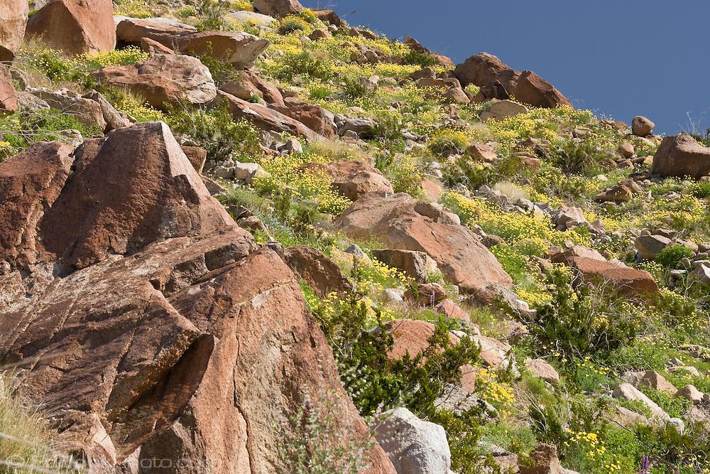 Mexican Gold Poppies (Eschscholtzia mexicana) growing among boulders on a slope in the Anza-Borrego Desert, California