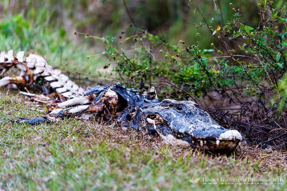 US, Florida, Everglades, Shark Valley. Alligator carcass.