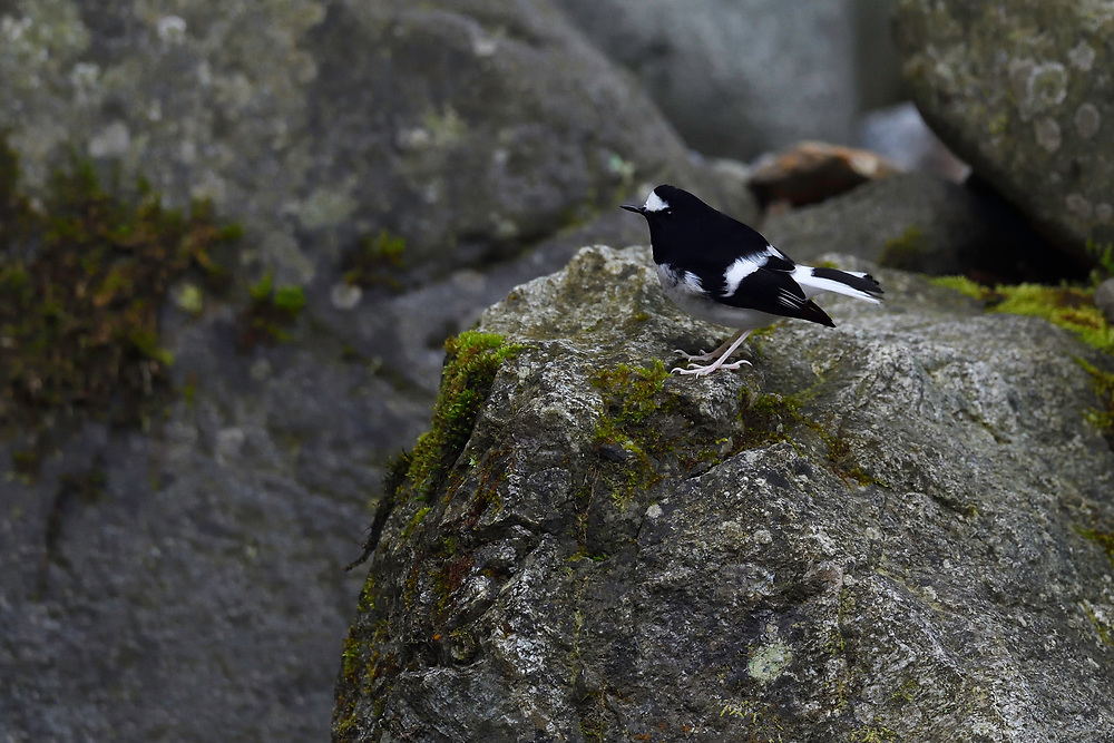 Little forktail, Enicurus scouleri, Humid montane mixed forest, Laba He National Nature Reserve, Sichuan, China