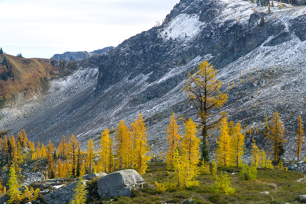 Larch displays fall colors in the North Cascades
