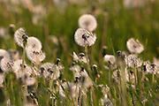 Meadow of Dandelion (Taraxacum) Half seeded dandelion clock and parachute balls Gloucestershire, England