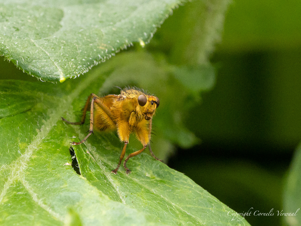 A Yellow Dung Fly<br /> (Scathophaga stercoraria) in The Ramble of Central Park