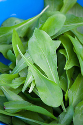 Sweet young chicory leaves in a bowl - Zucchero di Trieste. Baby salad leaf