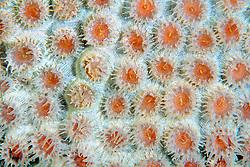 great star coral, Montastrea cavernosa, .Looe Key, Florida Keys National .Marine Sanctuary, Florida (Atlantic).