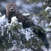 Fisher, (Martes pennanti) Montana. In tree, winter.  Captive Animal.