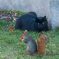 A cat stalks an Eastern Gray Squirrel (Sciurus Carolinensis) in a backyard in Pleasant Hill, California.