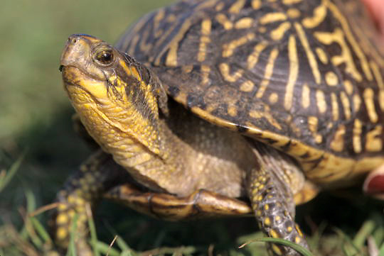Florida Box Turtle, (Terrapene carolina bauri) In Myakka River State Park. Florida.