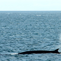 Fin whales