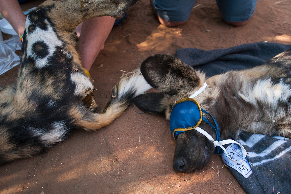 Wild dog (Lycaon pictus) darted to relocate.<br /> Wild free-roaming pack in Waterberg<br /> Marataba, A section of the Marakele National Park<br /> Limpopo Province<br /> SOUTH AFRICA<br /> IUCN STATUS: ENDANGERED<br /> These dogs are free roaming inside and outside of protected areas, moving through farm land and public roads.