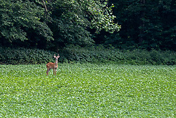 What appears to be a yearling Whitetail buck deer stands in a soybean field looking for an evening meal