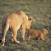 Lion, (Panthera leo) Female with cub. Masai Mara Game Reserve. Kenya. Africa.