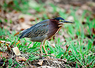A green heron standing on the bank of a wetland in Humacao, Puerto Rico.