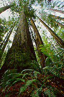 Coast redwood grove at Bull Creek Flats.  This stand of redwoods is the tallest group of trees  in the world.  It includes 90% of the known trees over 350 feet tall.