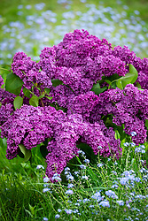 Bucket of picked Syringa vulgaris - Lilac - amongst forget-me-nots