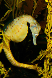 big-belly seahorse or Australian pot-belly seahorse, Hippocampus abdominalis, pregnant female, endemic to southern Australia and Tasmania (c)
