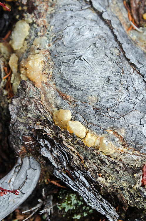 Resin oozing from a wound in the bark of an exposed root.