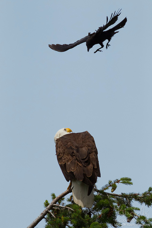 An American Crow (Corvus brachyrhynchos) dives to attack a Bald Eagle (Haliaeetus leucocephalus) perched at the top of a tree in Kirkland, Washington. Crows are often seen chasing hawks or eagles in flight, or repeatedly diving at them when they perched, a practice known as mobbing. Research is inconclusive, but scientists think this harassment helps to force the birds of prey to hunt elsewhere, ultimately reducing the threat to the crows and lowering competition for food.