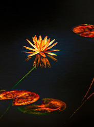 A Water Lily and Lily Pads on a Pond of Midnight Black Water with Radiating Energy