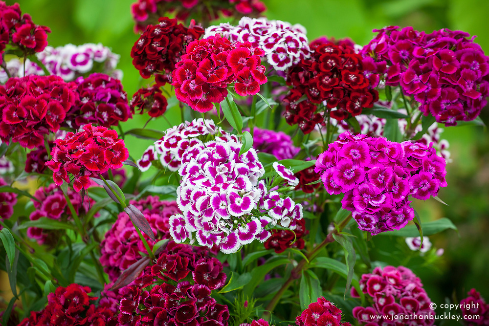 Dianthus barbatus 'Electron Auricula-eyed Mixed' (Sweet William) in a glass vase