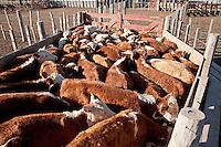 NOVILLOS RAZA HEREFORD EN UN FEED LOT, CARMEN DE ARECO, PROVINCIA DE BUENOS AIRES, ARGENTINA