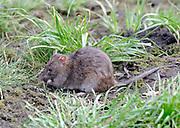 A common brown rat (Rattus norvegicus) eats food from under a bird feeder. Salehurst, East Sussex. UK 25Feb12