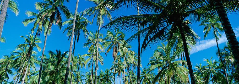Coconut Palms<br />