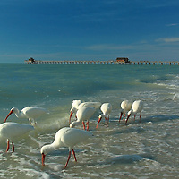 Wildlife bird photography of white ibises at Naples beach near historic Naples pier in Southwest Florida. This Florida wildlife photography image is available as museum quality photography prints, canvas prints, acrylic prints or metal prints. Fine art prints may be framed and matted to the individual liking and decorating needs:<br /> <br /> http://fineartamerica.com/featured/white-ibis-near-historic-naples-pier-juergen-roth.html<br /> <br /> All Naples Beach Florida photos are available for digital and print image licensing at http://www.RothGalleries.com. Please contact me direct with any questions or request.<br /> <br /> From my photo blog @ http://whereintheworldisjuergen.blogspot.com >>> Recently I visited Naples beach where I was looking for suitable nature photography objects. The seascape scenery was painted by the late afternoon sun and beach shells made for great macro photographs. While going about my business I encountered eight ibises that were looking for dinner on the beach and in the incoming waves. Once I became aware of the birds I quickly decided to pass them at a safe distance. I then composed a seascape photograph using the birds as an interesting foreground with the historic Naples fishing pier and beach in the background. I kneeled in the sand to obtain a low perspective and laid the focus point on one of the closest ibises. I then fine-tuned my composition using >>> http://blog.juergenrothphotography.com/2011/01/wildlife-beach-photography.html<br /> <br /> Good light and happy photo making!<br /> <br /> My best,<br /> <br /> Juergen<br /> Prints: http://www.rothgalleries.com<br /> Photo Blog: http://whereintheworldisjuergen.blogspot.com<br /> Twitter: @NatureFineArt<br /> Instagram: https://www.instagram.com/rothgalleries<br /> Facebook: https://www.facebook.com/naturefineart