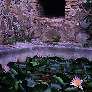 Brilliant lily pads among the ruins of an 18th century sugar mill in Caneel Bay, Vrgin Islands National Park, St. John, U. S. Virgin Islands
